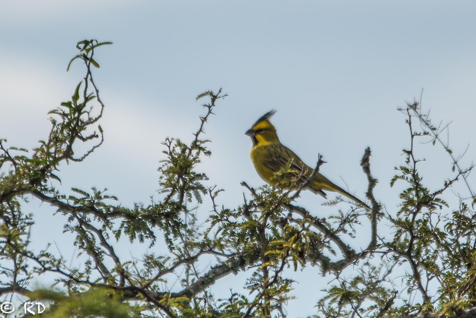 A ave cardeal amarelo pousasdo na copa de uma árvore no Parque Estadual do Espinilho. Foto: Roberto Dall Agnol