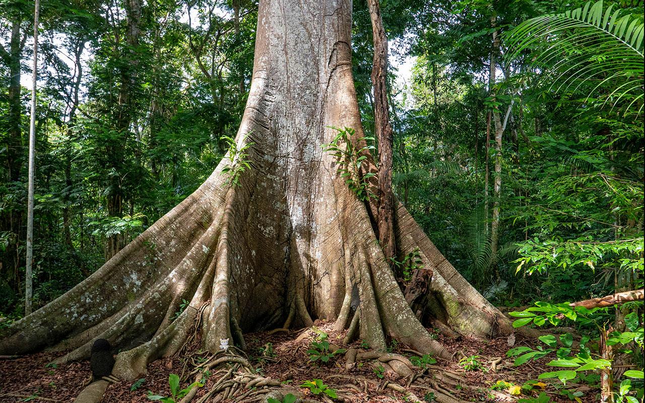 O Parque Nacional do Jaú abriga árvores que testemunharam muitas histórias. Sumaúma da Enseada. Foto: Josângela Jesus/ICMBio